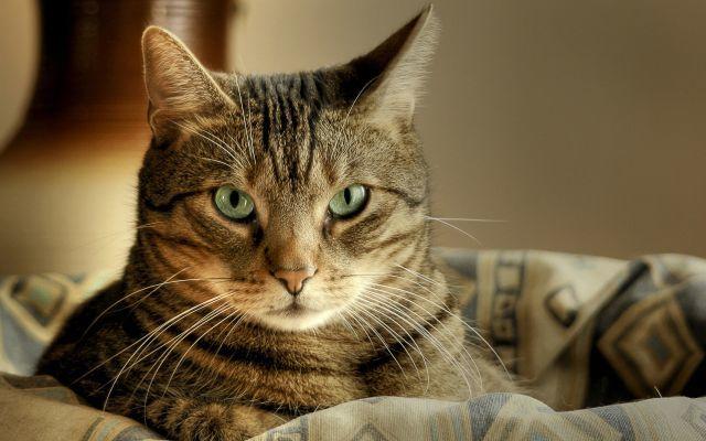 Pisica-maidaneza