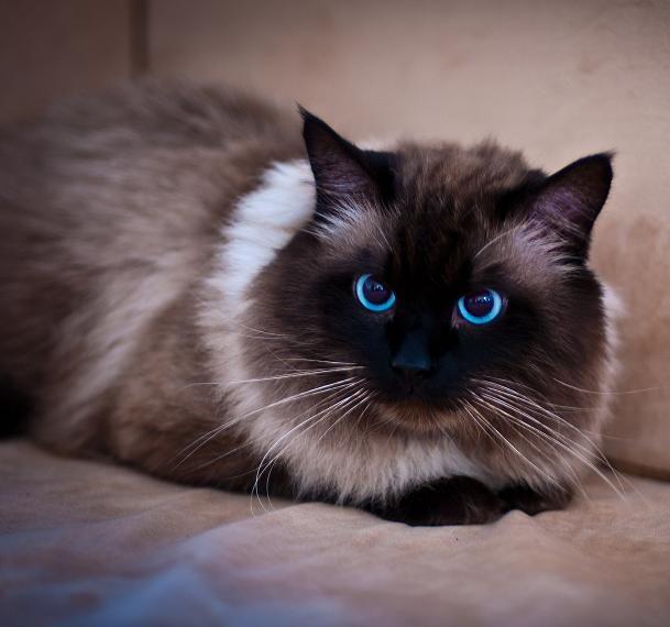 pisica-rasa-Birmaneza