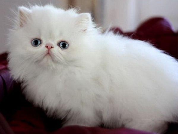 pisica-rasa-persana