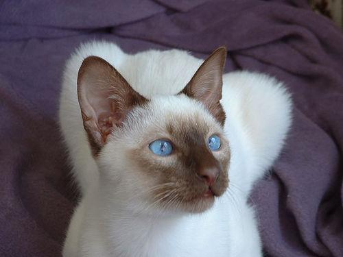 pisica-rasa-siameza