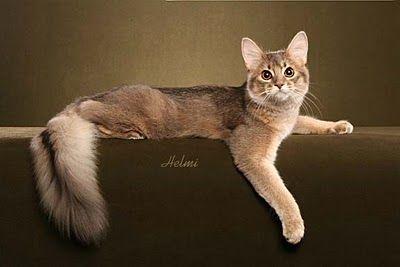 pisica-rasa-somaleza