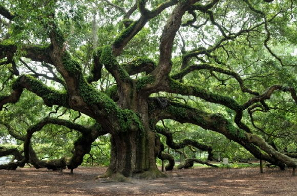 copacul inger-timetv