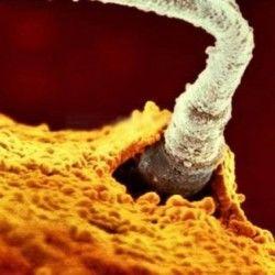 În capul spermatoziudului se păstrează întreg materialul genetic