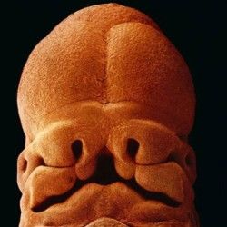 5 săptămîni, mărimea 9 mm. Se prevede deja forma feței
