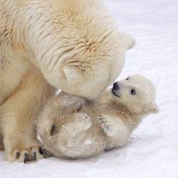 urşi-polari