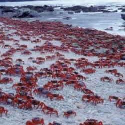 red-crabs